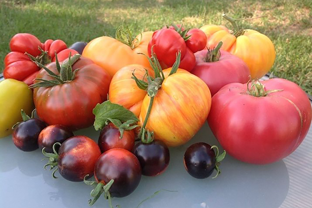 Fresh tomatoes from an urban farm